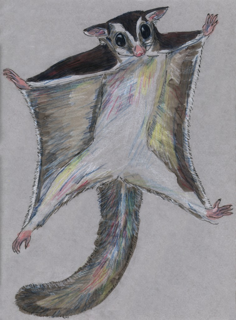 Petaurus breviceps