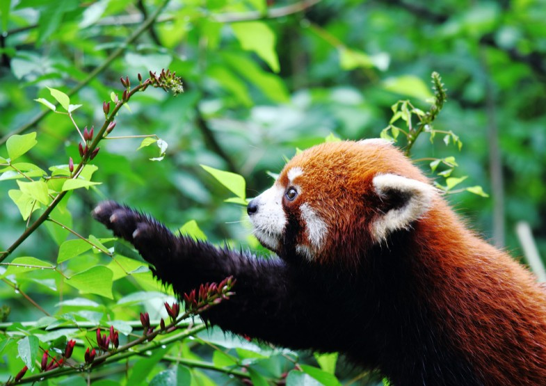 Red Panda by Kevin Buehler, licensed through Creative Commons