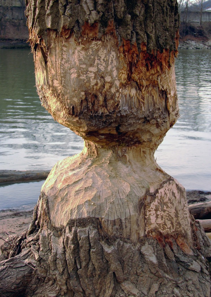 Photograph of tree gnawed on by beaver
