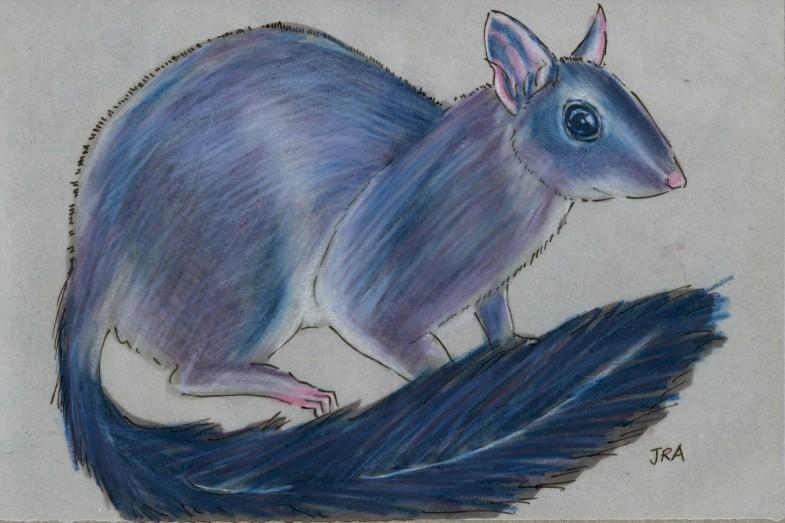 Phascogale tapaotafa