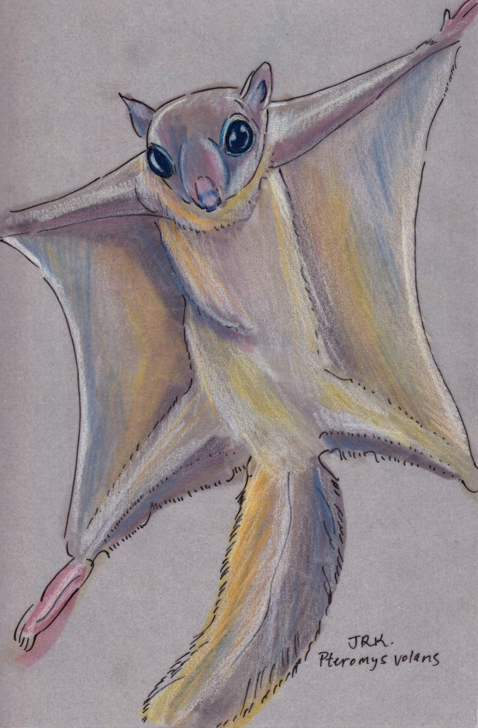 Pteromys volans
