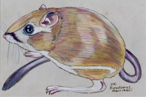 Merriam's kangaroo rat, Dipodomys merriami