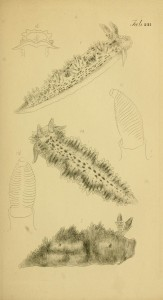etchings of molluscs by Maria Emma Gray
