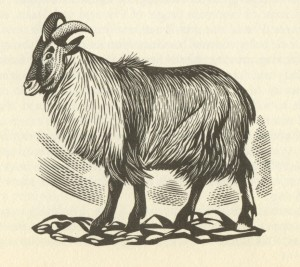 Black and white drawing of the Himalayan tahr