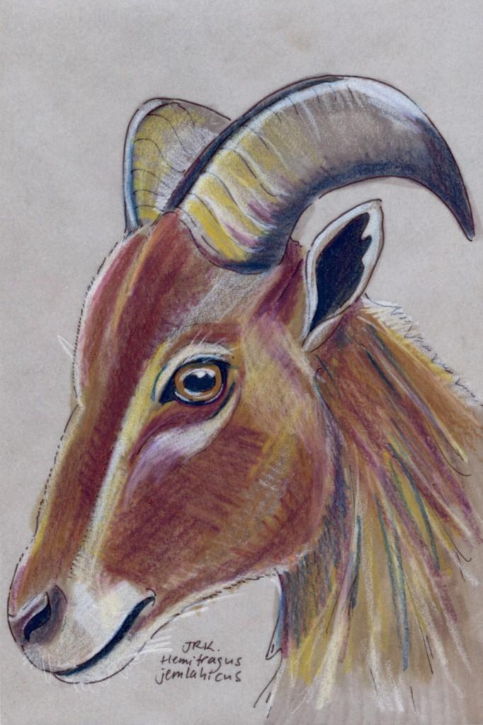 Hemitragus jemlahicus