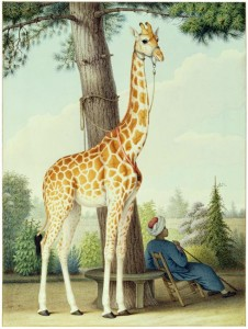 Study of the Giraffe Given to Charles X by the Viceroy of Egypt, 1827, by Nicolas Huët the Younger