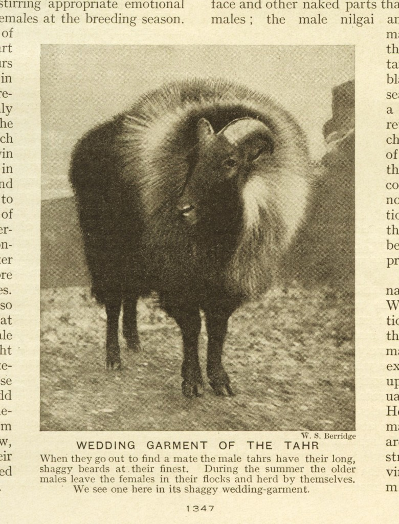 Photograph of a tahr from an old book