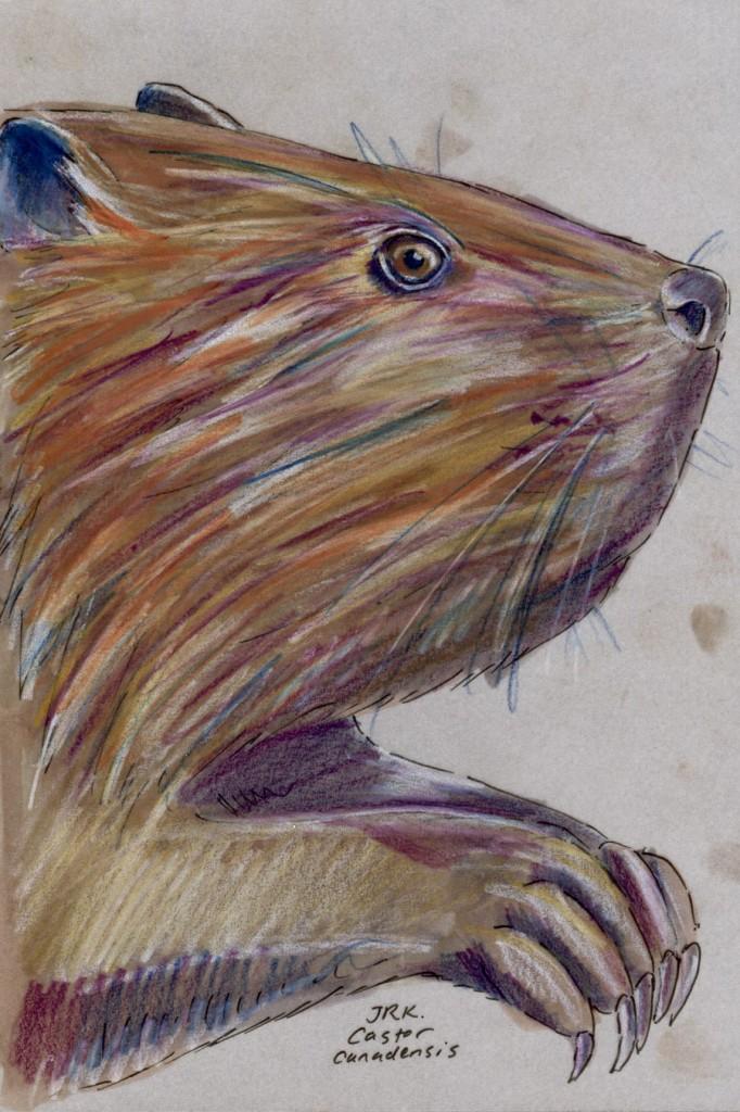Castor canadensis