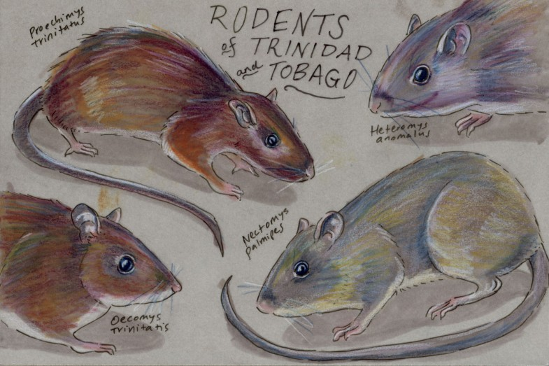 Four Trinbagonian rodents