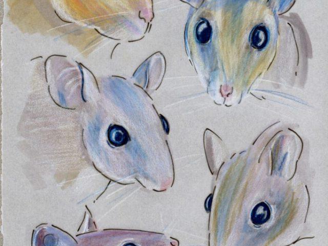 Spiny Mice Five Ways (Acomys spp.)