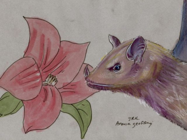Geoffroy Week: Geoffroy's Tailless Bat (Anoura geoffroyi)