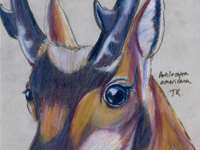 Mammal Olympiad: Marathon: Pronghorn (Antilocapra americana)