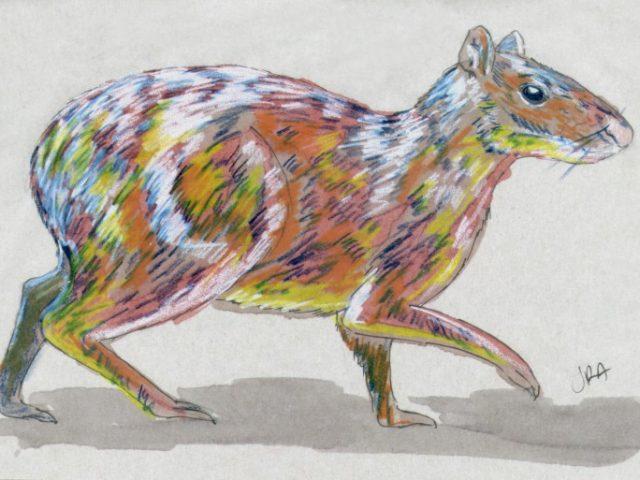 Azara's Agouti (Dasyprocta azarae)