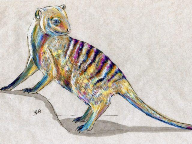 Striped Mammal Week: Banded Mongoose (Mungos mungo)