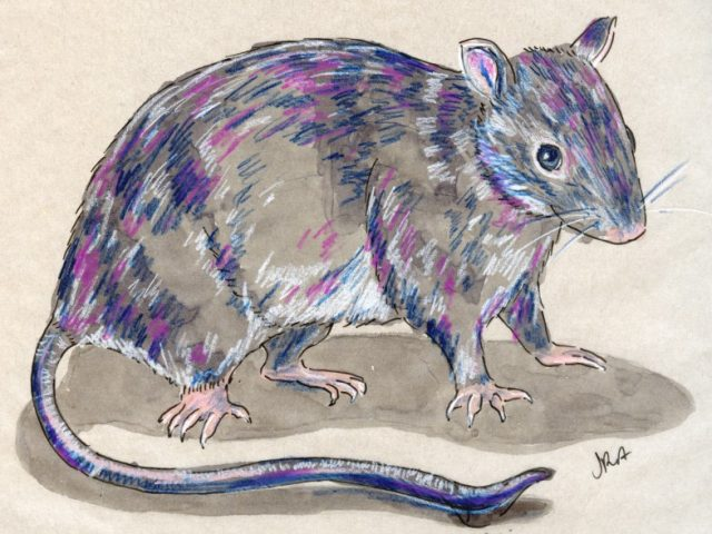 24 Hours: Black Rat (Rattus rattus)