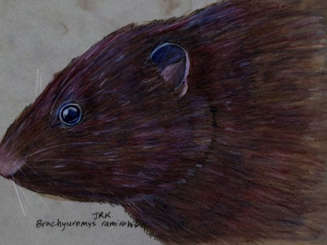 Random Week: Gregarious Short-tailed Rat (Brachyuromys ramirohitra)