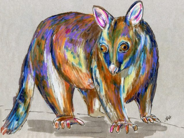Back Orders: (New Zealand) Brush-tailed Possum (Trichosurus vulpecula)