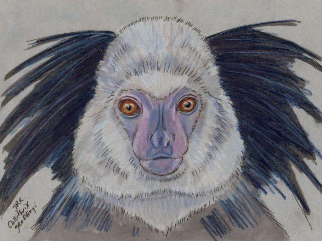 Geoffroy Week: Geoffroy's Marmoset (Callithrix geoffroyi)