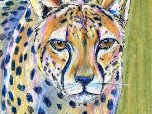Mammalthon 2: Cheetah (Acinonyx jubatus)