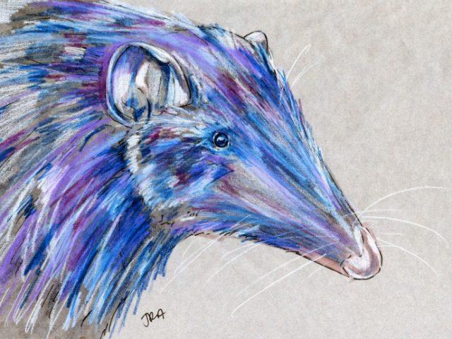 Chilean Shrew Opossum (Rhyncholestes raphanurus)