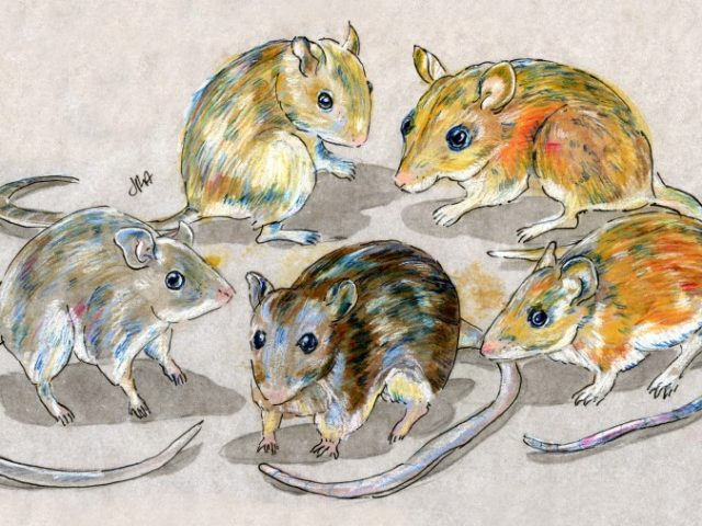 CONTEST! Five Deer Mice: Aztec Mouse, California Mouse, Canyon Mouse, Gleaning Mouse, Hooper's Deer Mouse
