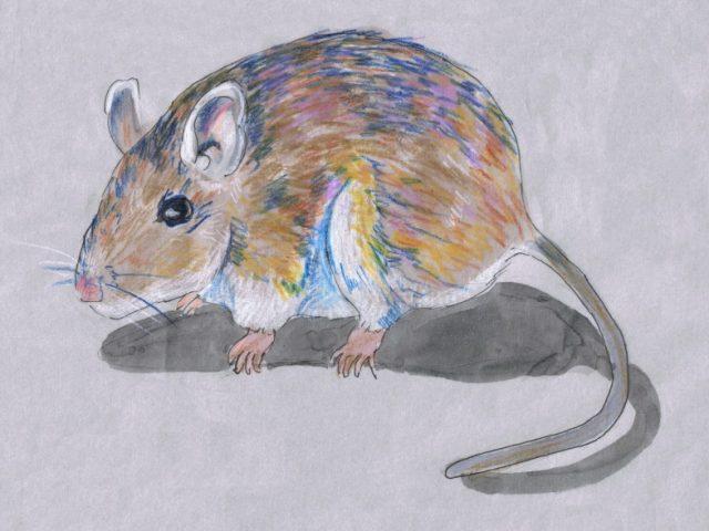 Deer Mouse (Peromyscus maniculatus)