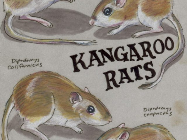 Facebook Friends: United States: Quartet of Kangaroo Rats (Dipodomys spp.)