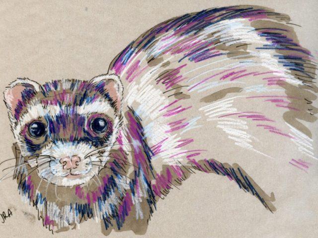 24 Hours: Domesticated Ferret (Mustela putorius furo)