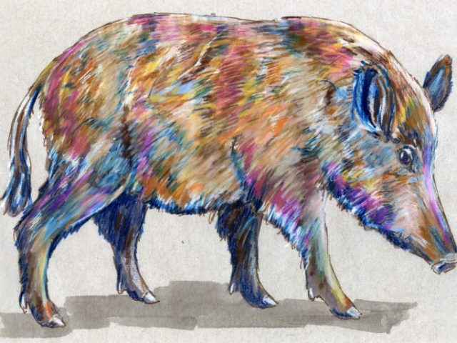 North Carolina Week: European Wild Boar (Sus scrofa)