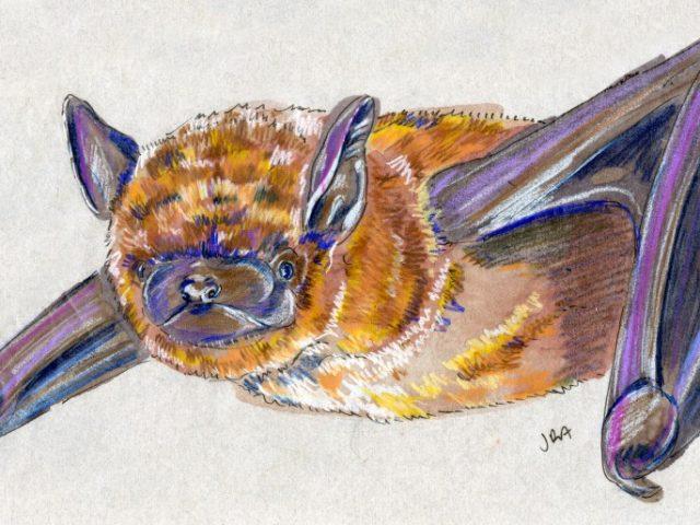 North Carolina Week: Evening Bat (Nycticeius humeralis)