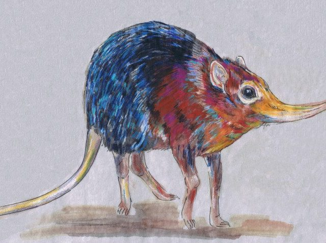 Black-and-Rufous Elephant Shrew (Rhynchocyon petersi)