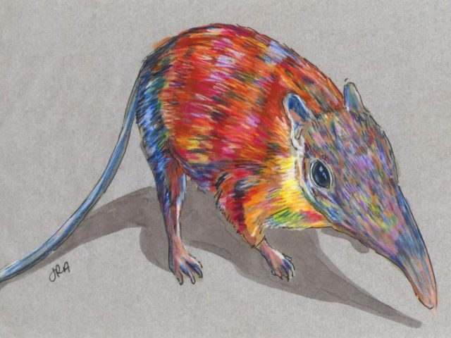 Newly Described Mammals Week: Gray-Faced Sengi (Rhynchocyon udzungwensis)