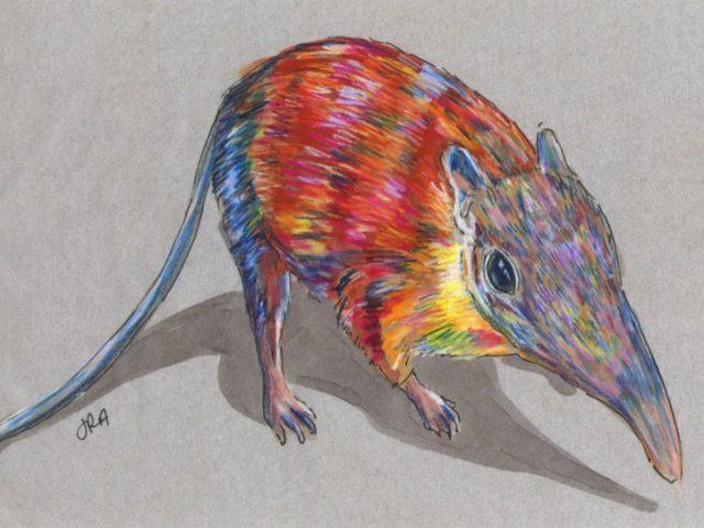 Newly Described Mammals Week: Gray-Faced Sengi (Rhynchocyon udzungwensis)