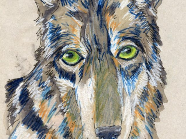 24 Hours: Gray Wolf (Canis lupus)