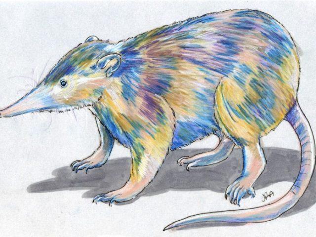 Hispaniolan Solenodon (Solenodon paradoxus)