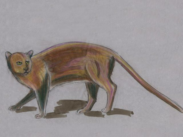 Jaguarundi (Felis yagouaroundi)