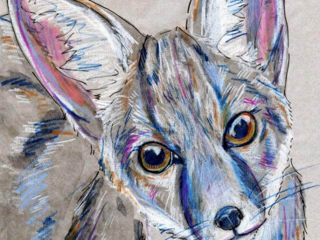 Mammalthon 2: Kit Fox (Vulpes macrotis)