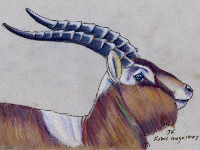 Mammal Olympiad: Fencing: Mrs. Gray's Lechwe (Kobus megaceros)