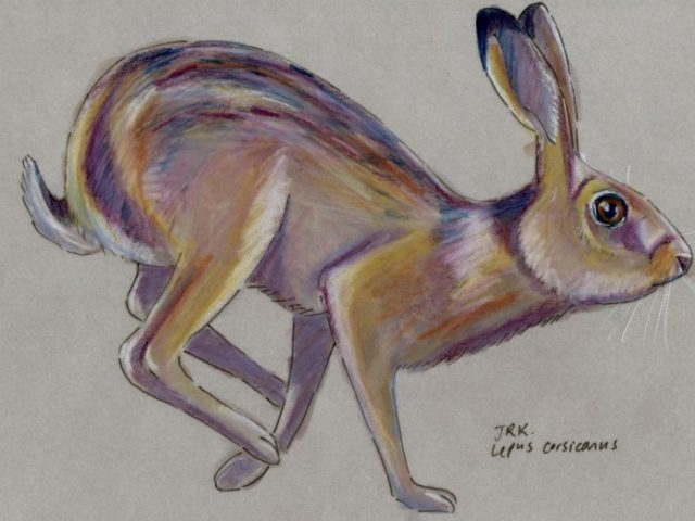 Facebook Friends: Italy: Corsican Hare (Lepus corsicanus)
