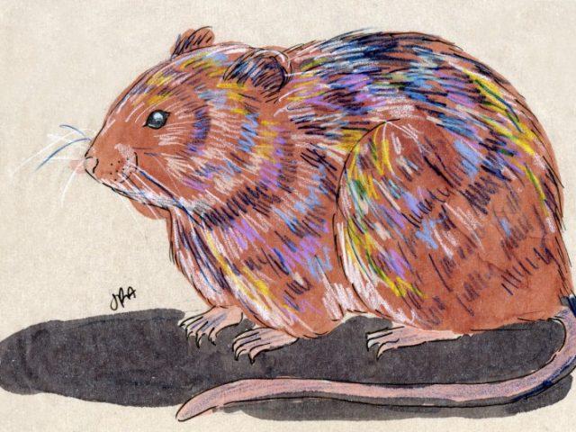 Meadow Vole (Field Mouse) (Microtus pennsylvanicus)