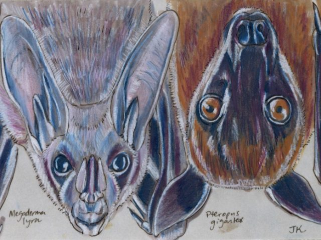 Two Indian Bats (Megaderma lyra and Pteropus giganteus)