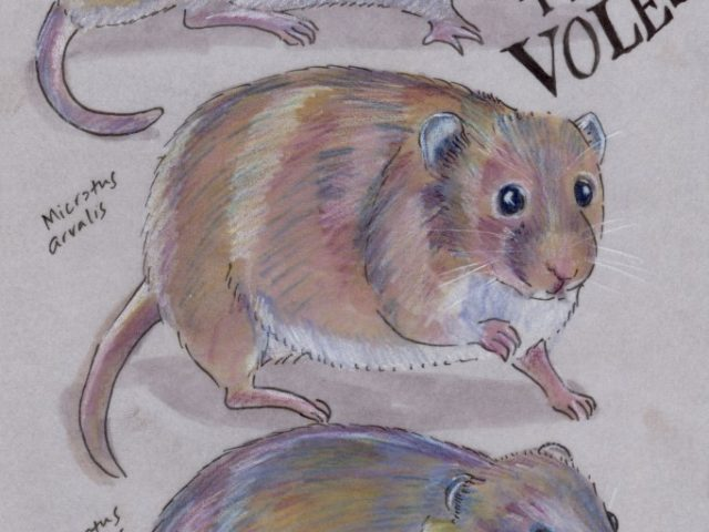 Facebook Friends: Netherlands: Trio of Voles (Microtus spp.)