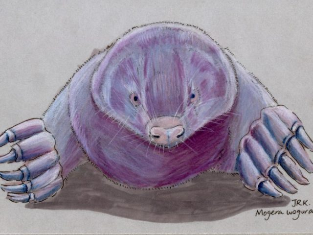 Japan Benefit: コウベモグラ (Japanese Mole) (Mogera wogura)