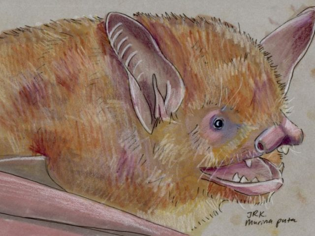 Facebook Friends: Taiwan: Taiwan Tube-nosed Bat (Murina puta)