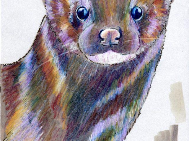 Darwin Days: American Mink (Neovison vison or Mustela vison)