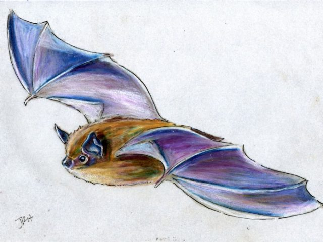 Hibernators Week: Little Brown Bat (Myotis lucifugus)