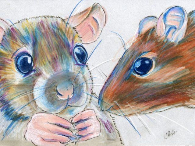 Mammals of Hawaii Week: Rats Two Ways (Norway Rat and Polynesian Rat)