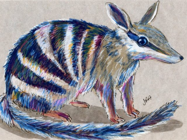 Striped Mammals Week: Numbat (Myrmecobius fasciatus)