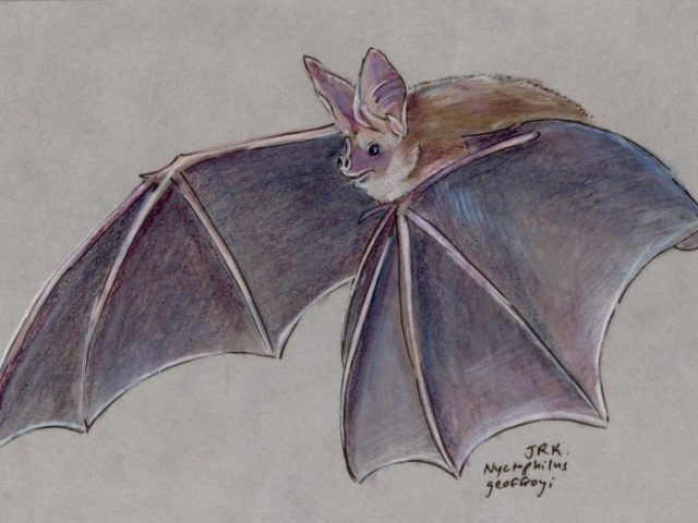 Geoffroy Week: Lesser Long-Eared Bat (Nyctophilus geoffroyi)