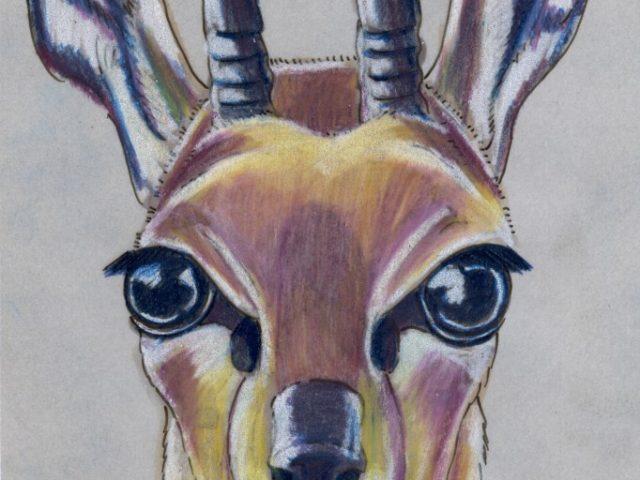 Mammal Olympiad: High Jump: Klipspringer (Oreotragus oreotragus)